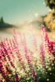 Natur background with Sage flowers in sun light in garden. Royalty Free Stock Image