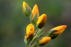 Natur blomning, blommor, makro, guling Arkivbild