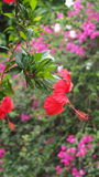 Natur-Blumentropeninsel-Hawaii-Rot-Hibiscus Stockfoto