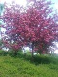 Natur cerry cor-de-rosa verde de Tre fotos de stock royalty free