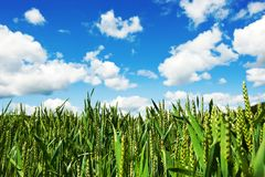 Natur corn field Royalty Free Stock Photography