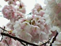 Natur in der Stadt: Blühende Kirschblüten an einem hellen Frühlingsnachmittag, Vancouver, im April 2018 Lizenzfreies Stockfoto