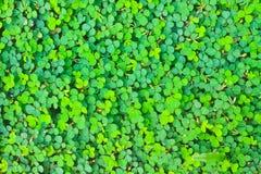 Natur för bakgrund för modellOxalis acetosella Royaltyfri Fotografi