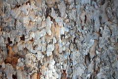 Natur för Closeup för textur för trädskäll Royaltyfri Foto