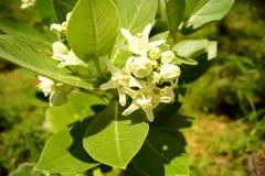 Natur för giantea för blommakronacalotropis bak suddighet Royaltyfria Foton