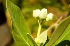 Natur för giantea för blommakronacalotropis bak suddighet Royaltyfri Foto