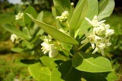Natur för giantea för blommakronacalotropis bak suddighet Royaltyfria Bilder