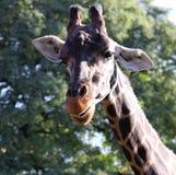 Natur för härlig stående för giraff lös. Arkivfoton