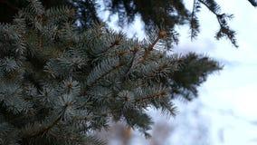 Natur för närbild för filial för träd för vinterträdgran stock video