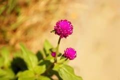 Natur för suddighet för bakgrund för jordklotamaranth purpurfärgad härlig Royaltyfria Foton