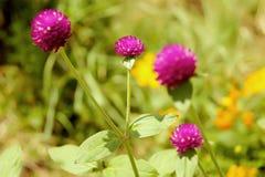 Natur för suddighet för bakgrund för jordklotamaranth purpurfärgad härlig Royaltyfri Bild