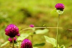 Natur för suddighet för bakgrund för jordklotamaranth purpurfärgad härlig Arkivbild