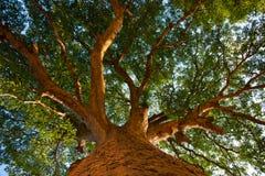 Natur, große Bäume, Farbton, Baumhöhe. Lizenzfreie Stockfotografie