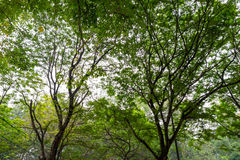 Natur großer Forest Trees Stockbilder