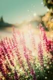 Natur-Hintergrund mit weisen Blumen im Sonnenlicht im Garten Lizenzfreies Stockbild