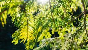 Natur-Hintergrund Sunny Pine Tree Needles Branch Lizenzfreie Stockfotos