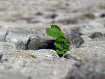 Natur macht seine Weise, die Anlage, die durch die Steine bricht Stockfotografie