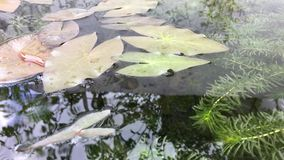 Natur med lotusblommagräsplanbladet lager videofilmer