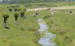Natur mit Kühen in Holland Lizenzfreie Stockfotos