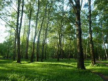 Natur morgon i björkskogen Arkivbilder
