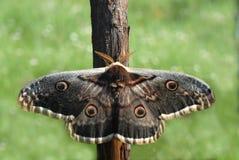 natur pav för fjäril n Arkivbilder