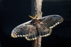natur pav för fjäril n Arkivfoton