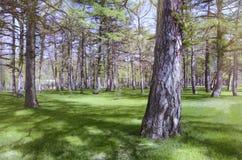 Natur Sörja parkerar, skogen, grönt gräs solig dag Arkivfoton