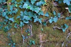 Natur som tar över en gammal vägg Fotografering för Bildbyråer
