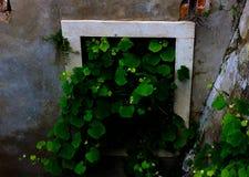 Natur som tar över fönster i gammal byggnad royaltyfria bilder