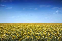 Natur. Sonnenblume-Feld Stockbilder