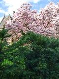 Natur trevligt träd av rosa färger, blommor royaltyfri bild