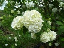 Natur vanlig hortensiablommor Royaltyfri Bild
