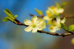 Natur Vit blomstrar på filialen av äppleträdet Royaltyfria Foton