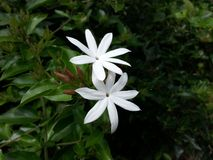 Natur wirkliche wilde Pichcha-Blumen des Dorfs Stockbild