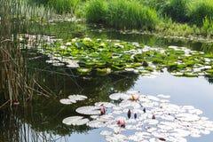 Natur wodne leluje obraz royalty free