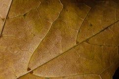 Natur-Zusammenfassung - Epidermis-Zellen und Adern eines sterbenden Blattes Stockfotografie