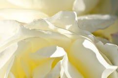 Natur-Zusammenfassung: Verloren in den leichten Falten der empfindlichen weißen Rose stockfotos