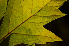 Natur-Zusammenfassung - Zellen und Adern eines sterbenden Blattes Lizenzfreie Stockbilder