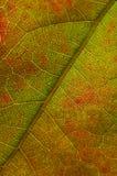 Natur-Zusammenfassung - Zellen und Adern eines sterbenden Blattes Stockbild