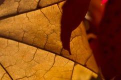 Natur-Zusammenfassung - Zellen und Adern eines sterbenden Blattes Stockbilder
