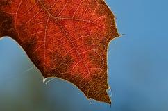 Natur-Zusammenfassung - Zellen und Adern eines sterbenden Blattes Stockfotografie