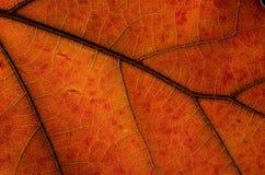 Natur-Zusammenfassung: Zellen und Adern von bunten Autumn Leaf Lizenzfreie Stockfotos