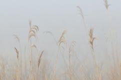 Natura abstrakt – Złocista trawa w ranek mgle Zdjęcie Royalty Free