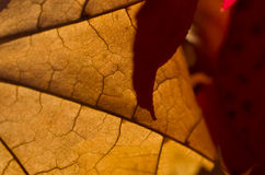 Natura abstrakt - komórki i żyły Barwiarski liść Obrazy Stock