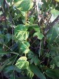 Natura beauriful liście Zdjęcia Stock