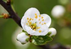 Natura, biel, wiosna, kwiat, okwitnięcia pojęcie - wiosna biały kwiat Obrazy Royalty Free