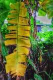 Natura del banano Fotografia Stock