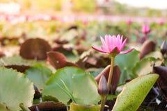 Natura del fiore di Lotus fotografia stock libera da diritti