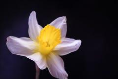 Natura del giardino del fiore del narciso bella Immagini Stock