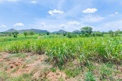 Natura del paesaggio dei raccolti della canna da zucchero Fotografia Stock